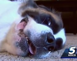 St. Bernard Who Refused To Stop Whining Saves Family's Lives