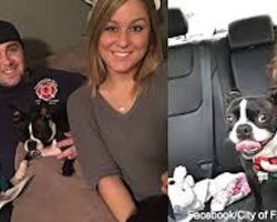Firefighter Adopts Boston Terrier Left Homeless By Tragic Loss