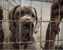 More than 80 Great Danes Rescued from Suspected Puppy Mill