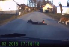 Dashcam Catches St. Bernard Dragging Boy Across The Road