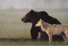 Rare Friendship Between Wild Wolf And Bear Caught On Camera