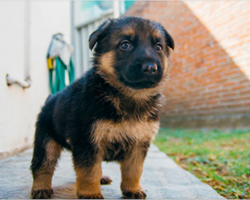 15 lovely reasons why German Shepherds make the best pets