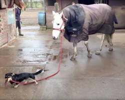 Adorable Dachshund Takes His Best Friend For A Walk