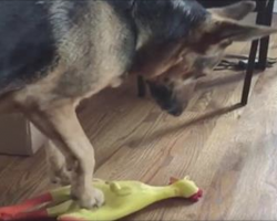 Dog steps on the rubber chicken, but it's the next part that has me in stitches