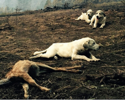 After wildfire breaks out, man finds family of sheep dogs protecting a deer from predators