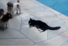The Funniest Argument Ever: Annoyed Cat Pushes a Dog Into a Swimming Pool! Hilarious!
