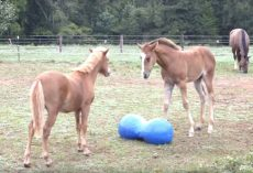 Baby Foal And Tiny Pony Play With A Big Blue Ball