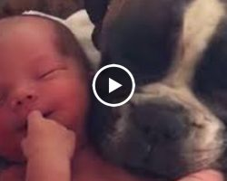 Boxer Dog Snuggles Up To Her New Human Baby Brother