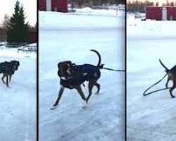Hilarious Boxer Dog Does Not Want To Be Anybody's Sled Dog