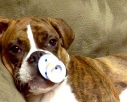 Cute Boxer Puppy Falls Asleep When She Gets Her Pacifier
