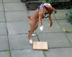 Boxer Has The Silliest Reaction To A Piece Of Wood