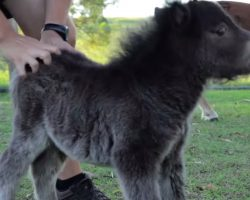 He's Only As Tall As His Owner's Knees, But Watch What This Miniature Horse Does!