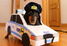 Dachshunds Play An Adorable Game Of Cops And Robbers