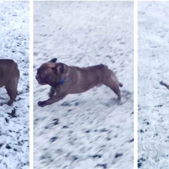 Cute French Bulldog Pulls Awesome Move While Playing In the Snow
