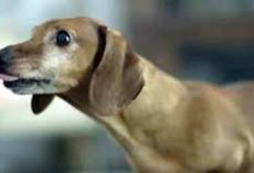Dachshund Reunites With His Favorite Toy From Puppyhood And His Reaction Is Beyond Adorable