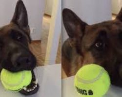 German Shepherd Makes It Crystal Clear He Is Ready For Playtime