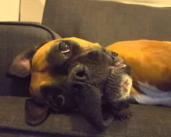 Boxer Dog Becomes Adorable Crybaby When She Isn't Getting Enough Attention