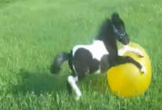 An Adorable Mini Horse Loves Playing Around With His Bouncy Ball