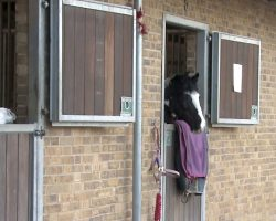 The Tiny Horse On The Left Couldn't See Over His Stable Door. What They Did? Unbelievable!