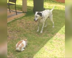 Big Dalmatian Stares Down Tiny Rabbit In Garden, But Then The Brave Bunny Chases Him Instead