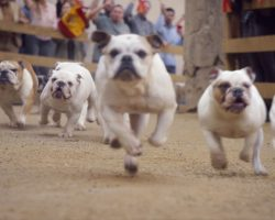 Man Gets Caught in a Bulldog Stampede in Latest Funny Geico Ad