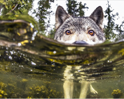 Meet Rare Sea Wolves Who Live Off The Ocean And Can Swim For Hours
