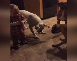 Toddler Has Fun Playing With His Three Boxers