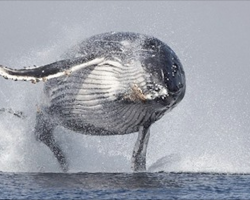 40 Ton Whale Filmed Jumping Completely Out Of The Water – No Wonder It's Going Viral