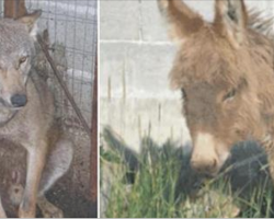 Donkey Couldn't Work Was Set To Be Killed – Wolf's Next Move Stuns The Whole Village