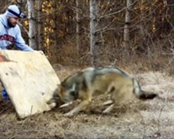 Man Spots A Giant Wolf In The Woods , When He Gets Closer He Realizes The Horrible Truth