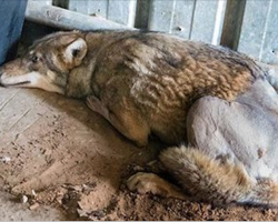 This Wolf Lay Dying In A Ditch. Until A Woman Stops Her Car And Does THIS. Wonderful!