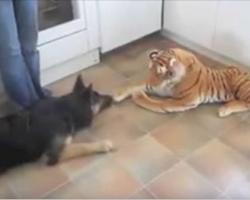 German Shepherd is in standoff with stuffed tiger. His comeback has Internet dying of laughter