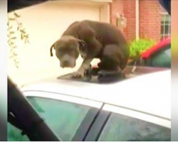Shivering, Frightened Pit Bull Trapped On Flooded Car Finally Rescued After 2 Days