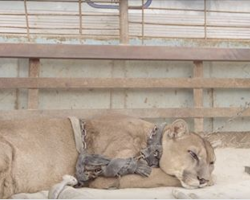 For 20 years, this mountain lion was chained up, has priceless reaction when he's finally freed