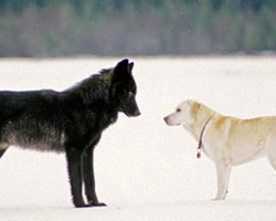 This Is What Happens When A Wild Wolf Approaches A Dog