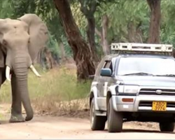 Elephant Desperate For Car's Attention, Within Moments They Realize It's A Cry For Help