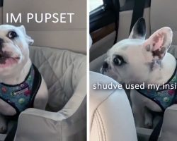 [Video] Translated Frenchie Tantrum Will Have You in Stitches
