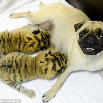 Pugs Nurse And Raise Abandoned Tiger Cubs