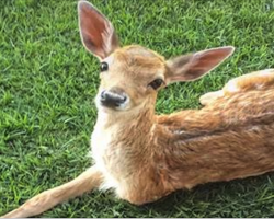 Adorable baby Deer Lost A Leg, But His Dog Siblings Refused To Give Up On Him