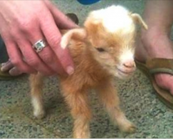 This Baby Goat Has Mastered Acrobatics And It's Sure To Be Your New Favorite Video.