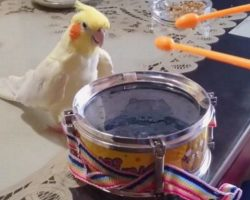 Cockatiel Hears Owner Tapping On Drum, Responded in a Way No One Expected! Oh MY!