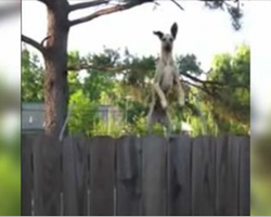 Great Dane discovers a trampoline, has Internet in stitches with his hilarious antics