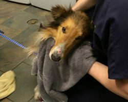 Homeless Collie Found Shivering And Scared In A Railroad Yard, Then Rescuers Notice 1 Heartbreaking Detail…