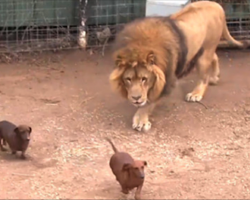 Lion Creeps Up Behind Weiner Dogs, You Have To See To Believe What Happens