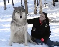 Giant Wolf Plops Down Beside Her, But Watch What Happens When…