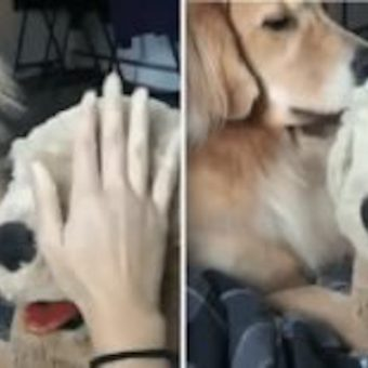 Dog Gets Jealous Of Owner Petting Stuffed Animal