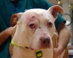 A Hero Pit Bull Who Took A Bullet For His Owner…And Now He Needs A Home