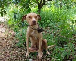 Pit Bull Is Left To Die Chained To A Tree, Refuses To Stop Protecting Her Secret