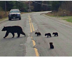 Sick Bear Cub Is Left Behind And Police Officer Risked His Own Life To Save Him