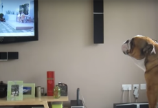 This Bulldog Is Convinced He's An Elephant After He Sees One On TV